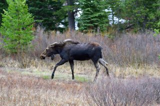 Second Moose