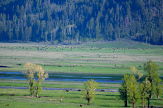 Brown specks are bison in Lamar Valley!