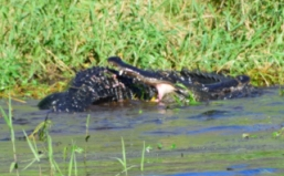 Two Male Gators Fighting