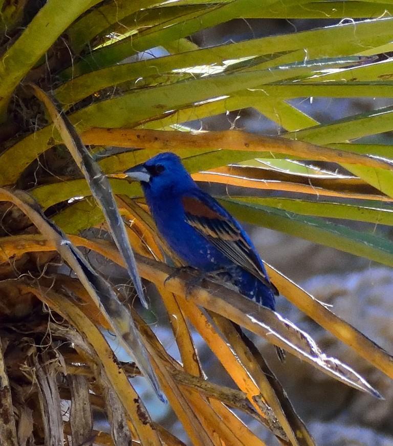 Blue Grosbeak (1)
