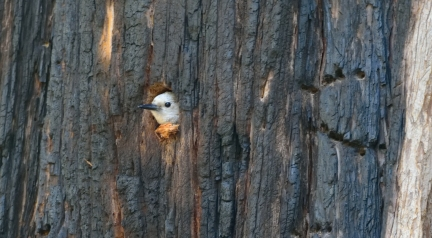 White-headed woodpecker nesting