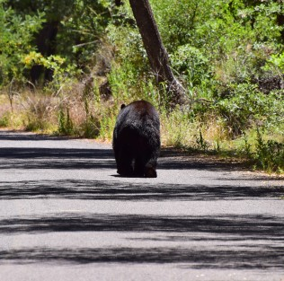 Black Bear barreling down the road