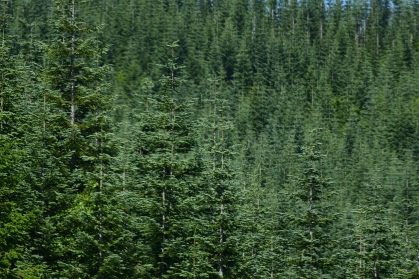 Noble Fir Trees_00001