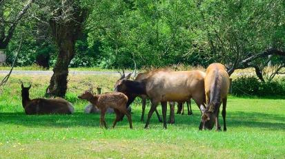 Roosevelt Elk (2)