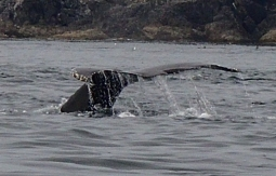 Humpback Whale Tail_1