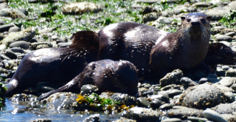 River Otters_00001