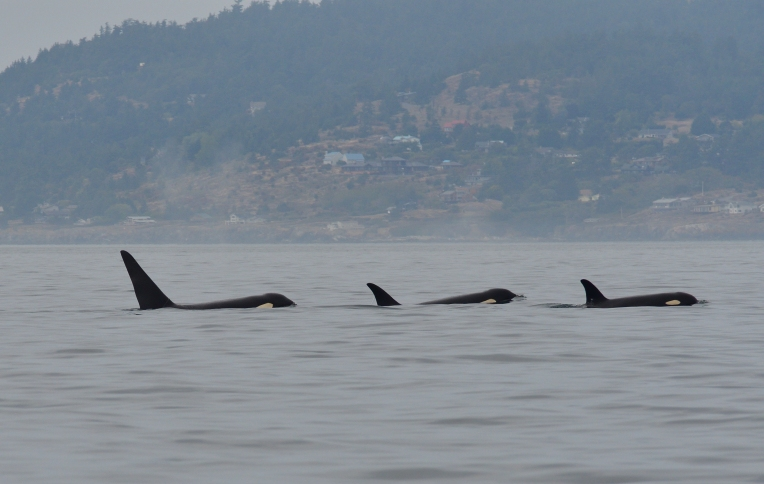 three orcas WA 8-19_00001