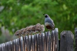 gamble quail_00002